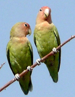 Rosyfaced love bird. Namibia