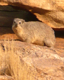 Dassies or Rock Rabbits (Rock hyrax) are plentiful - the Black Eagles thrive!